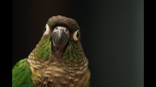 A Green Cheek Conure Medley