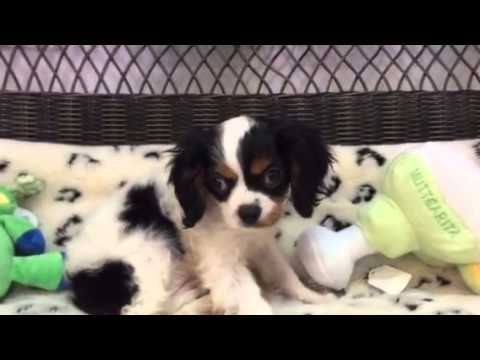 SWEET AND HANDSOME CAVALIER PUPPY