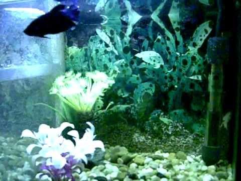 acuario para cria, betta explenders  macho y dos hembras.