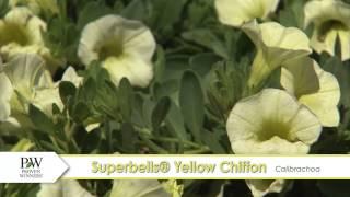 Superbells Yellow Chiffon Calibrachoa-- A P Allen Smith Favorite!