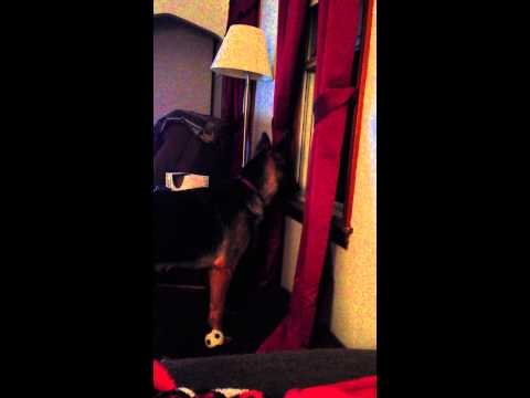 German Shepherd Dog Mimics Fire Siren! Funny!