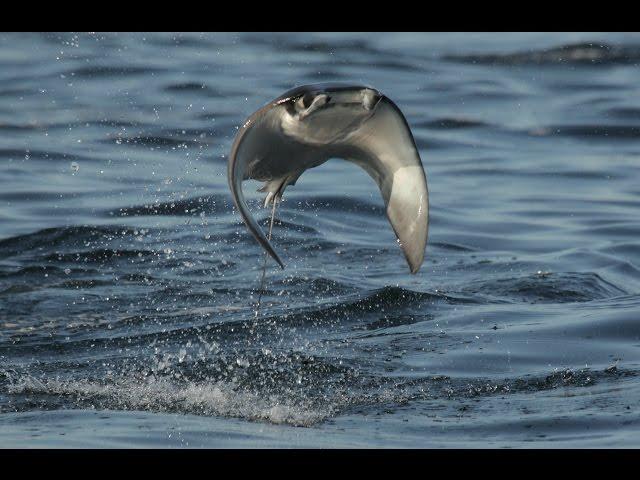 ציפורים עם סנפירים של דג עפות בתוך המים