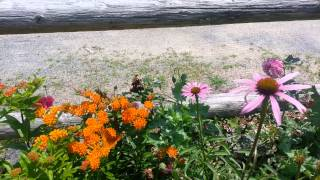 Butterfly Weed and Lavender in the garden
