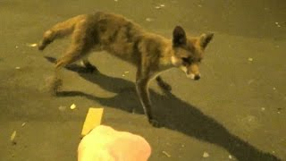 preview picture of video 'Hand Feeding Wild Fox - Hackney East London'