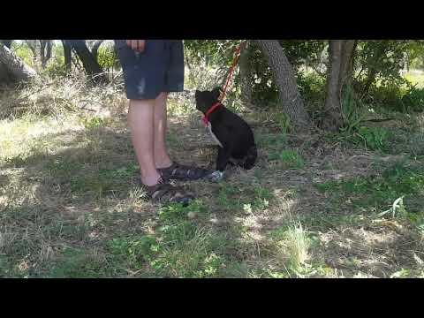 Izzy, an adoptable Labrador Retriever & Border Collie Mix in Bandera, TX