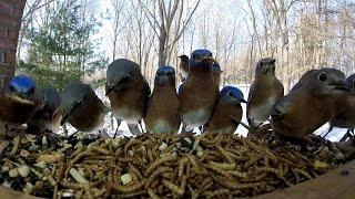 14 Eastern Bluebirds Visit Feeder At Once!