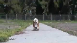 Тиллман — победитель собачьего серфинга