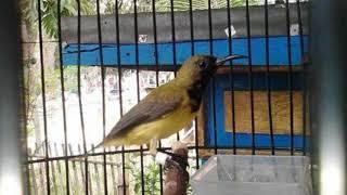 Langsung Respon!!! Terapi Burung Sogok Ontong Lelet Dan Males Bunyi