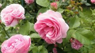 David Austin – Englands schönster Rosengarten