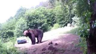 Bear camera. Medveles a Hargitán.2015.06.20:Medve nappal.Részlet.