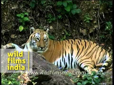 Panna Tiger Lying Peacefully - Before He Got Killed By Poachers Mp3