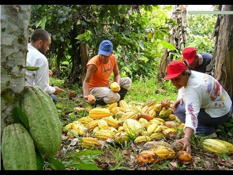 Producción de cacao como industria familiar - TvAgro, por Juan Gonzalo Ángel
