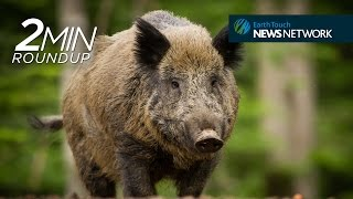 Radioactive boars, creating Jungle Book's animated creatures & a kakapo comeback