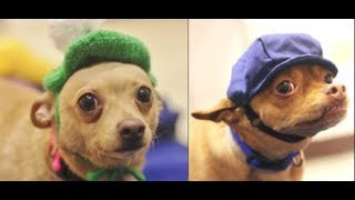 Adorable bonded pups looking for forever home together   The Dodo Project Home Live
