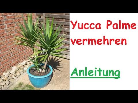 Yucca Palme durch Steckling vermehren -  Ableger Vermehrung – Palme selber ziehen - Anleitung