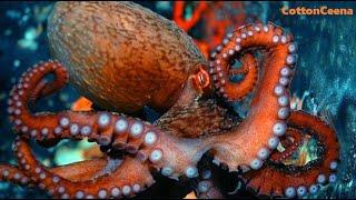 OCTOPUS'S GARDEN ♫ ~ Ringo Starr - live version 2005 - Underwater Footage of Octopus
