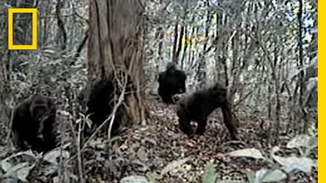 Rare Gorillas Caught on Camera | National Geographic thumbnail