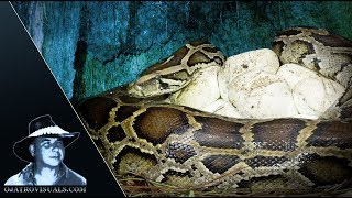 Incubating Python Covers Eggs 01