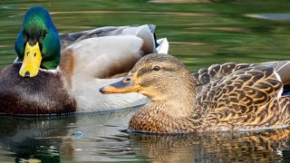 Ducks, Geese, Water Birds | RELAX YOUR PET | August 19, 2020 | 10 Hours