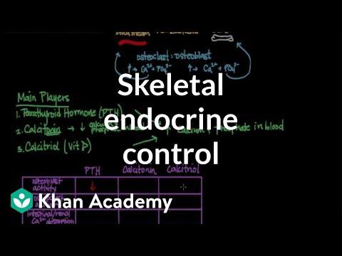 Skeletal endocrine control (video) Khan Academy