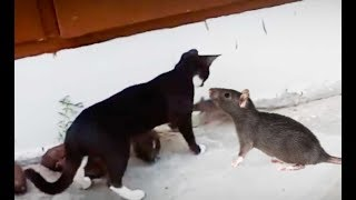 Cats vs Mice | The Cats Afraid to Mice Like Tom And Jerry In Real Life