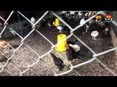 Binmas Noken Polri Lakukan Panen Raya Ayam Super di Kelurahan Pasar Sentral, Kabupaten Mimika