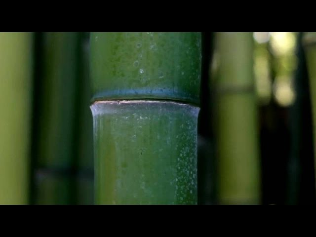 Bamboo   The Green Gold