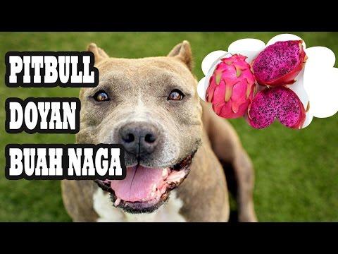 Video Lucu Anjing Pitbull Makan Buah Naga Kaskus