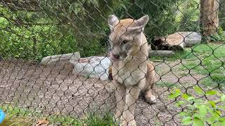 Home Safari – Cougars – Cincinnati Zoo