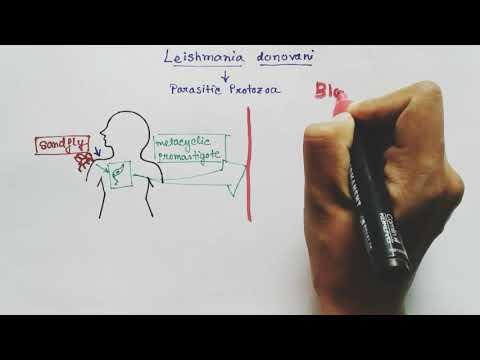 Hogyan lehet kezelni a férgeket felnőtt pinwormsben