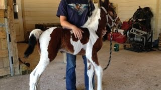 Baby Horses Running And A Zebra - Cute! See TXMFT.com For One Of Your Own!