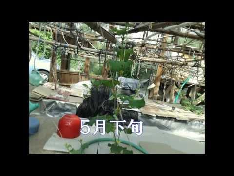 (五郎ファーム)メロン水気耕栽培2013年2月~5月