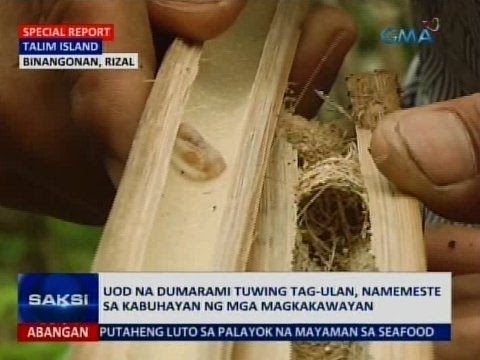 Incubation tagal worm