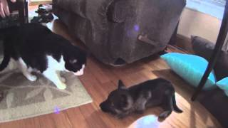 New Puppy Meets The Cats