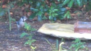 Blue Jay visited my bad yard.