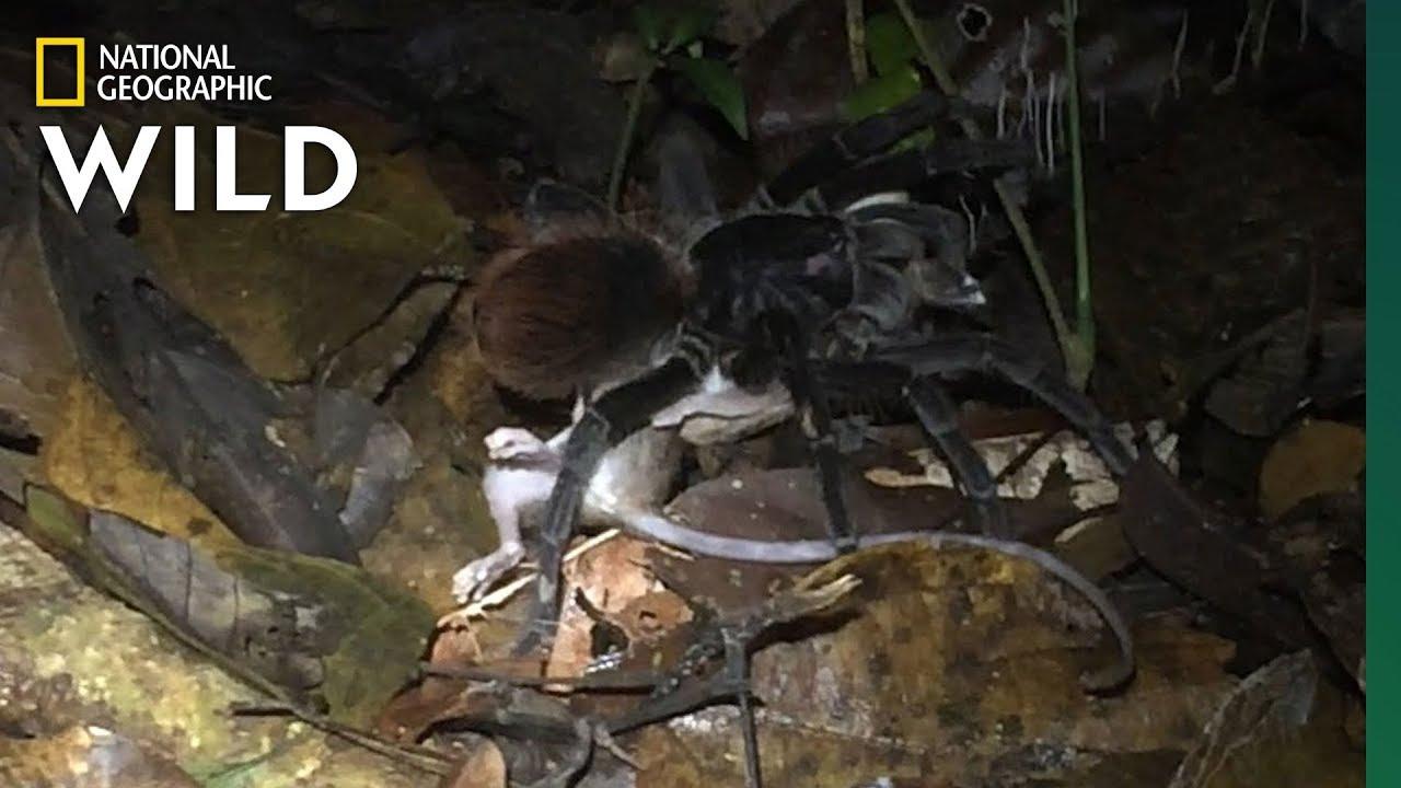 #Видео | Гигантские пауки оказались причиной смертности многих животных