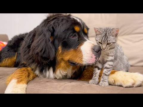 How a Bernese Mountain Dog and a Kitten Became Friends