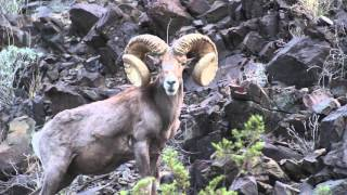 AZ Auction Tag Desert Bighorn Sheep 2016 by Colburn and Scott Outfitters