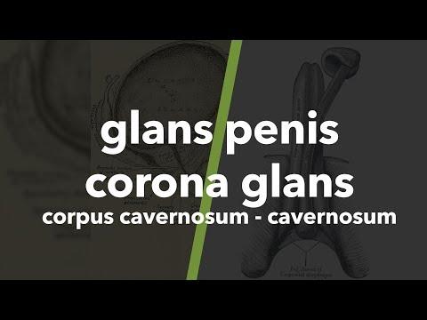 Proviron a péniszért