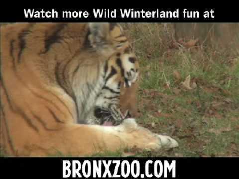 النمور السيبيرية  في  حديقة حيوان برون