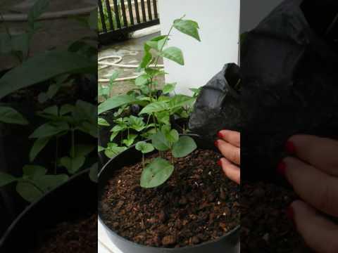 Video Cara menanam dan memindahkan setekan bunga melati