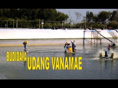 Video Cara Budidaya Udang Vanamae Di Kabupaten Rembang, Ber Omzet Millyarran