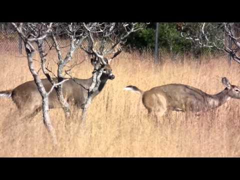 buck mounting doe