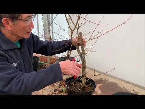 Japanese Maple Shaping Decisions Part 1
