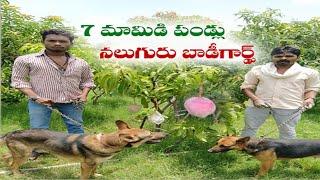 Guards & Dogs Hired To Protect 7 Miyazaki Mangoes   Price Will Blow You Away   Madhya Pradesh