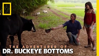 Keeping Boo the Bull Calm | The Adventures of Dr. Buckeye Bottoms