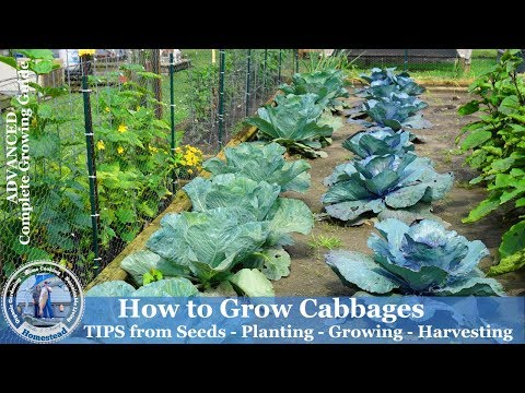 , title : 'How to Grow Cabbage - Tips from Seeds, Planting, Growing, Harvesting Cabbage