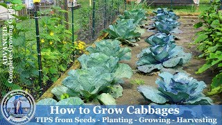 How to Grow Cabbage - Tips from Seeds, Planting, Growing, Harvesting Cabbage