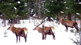 Three wonderful red deer stag visited us