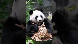 "Panda——""I'm not fat at all"""